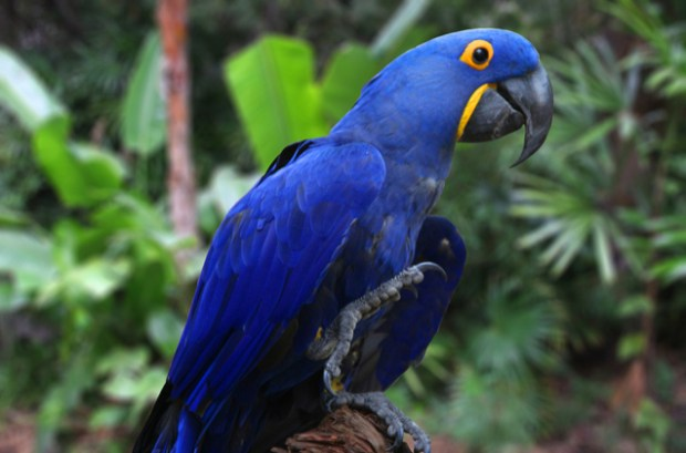 Hyacinth Macaw  Study examines 50 years of South American bird trade Hyacinth Macaws