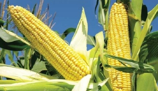 Maize plant  IAR&T develops high-yielding, disease-resistant maize varieties maize plant