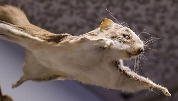 Flying squirrel  Chinese scientists identify new species of rare flying squirrel flying squirrel
