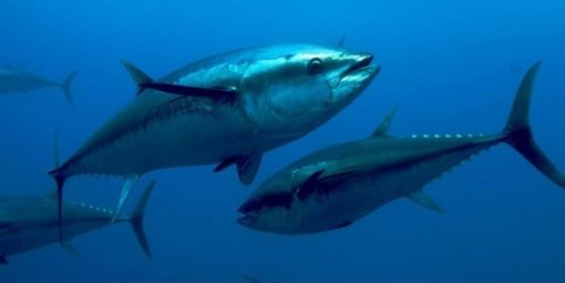 Bluefin Tuna  G7 leaders served endangered bluefin tuna for dinner Bluefin Tuna