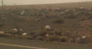 Australia bushfires  UAE launches fund-raising campaign to rescue Australian wildlife The burnt bodies of hundreds of animals line the road
