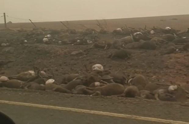 Australia bushfires  Bushfires mirror Australia's failure to tackle climate change – 350 The burnt bodies of hundreds of animals line the road