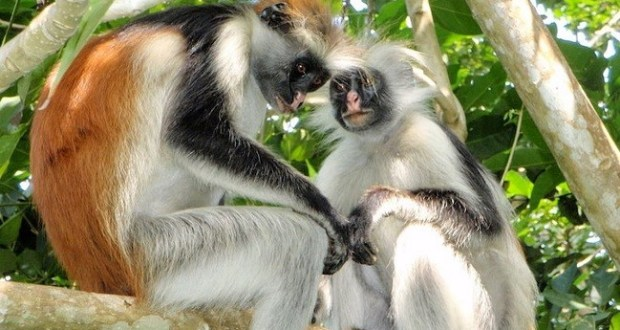 Niger Delta red colobus  Inside the fight to save the Niger Delta red colobus Niger Delta red colobus