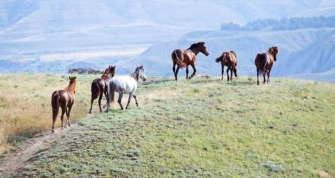 wild-horses-nevada