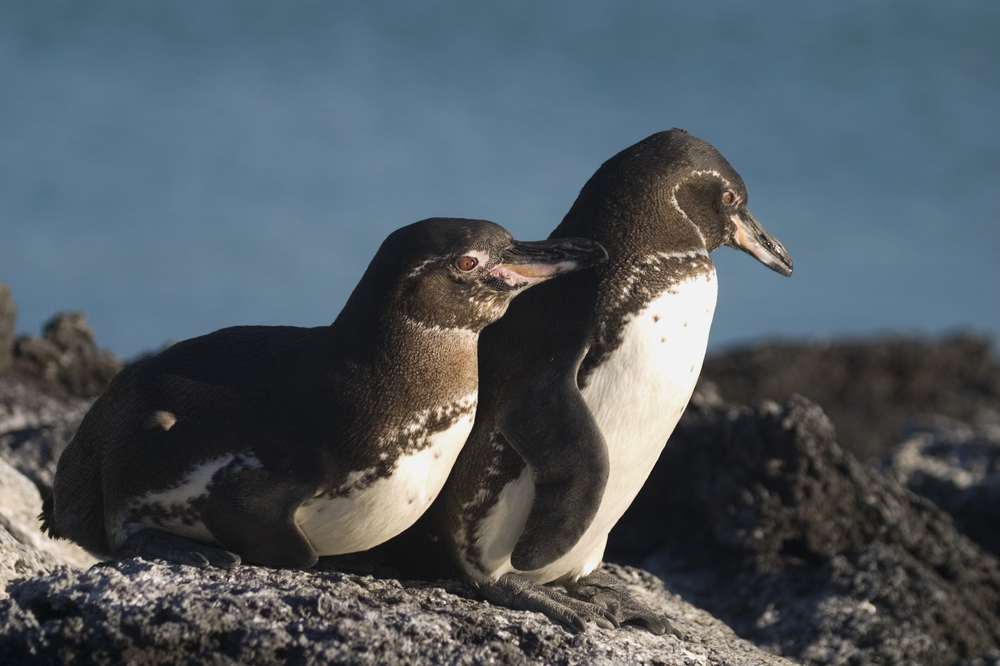 Galapagos Penguins Get Boost from Climate Change