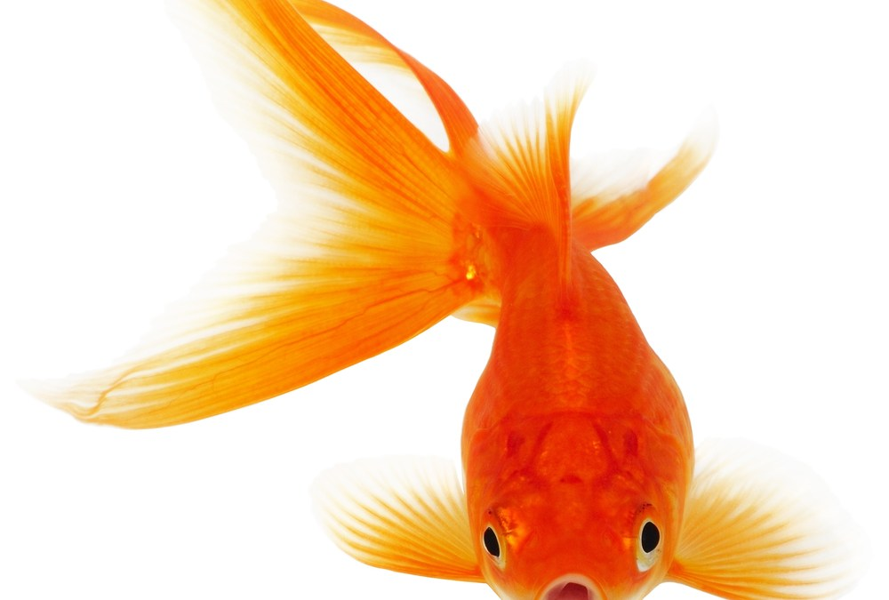"""Too Much Carbon Dioxide Can Lead to """"Intoxicated"""" Fish"""