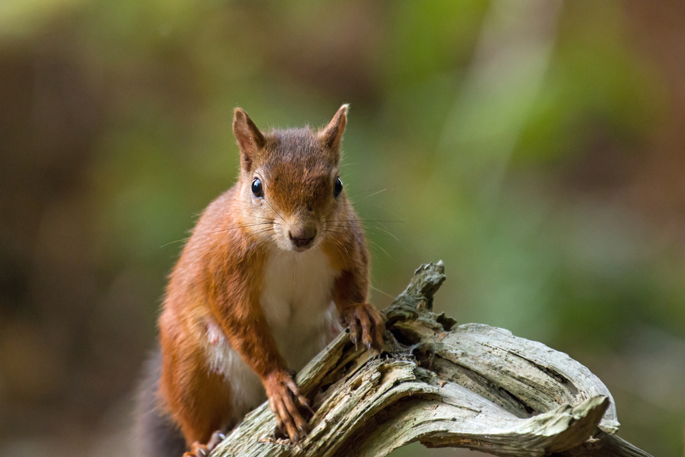 Leprosy Is Endemic in the UK's Red Squirrel Population
