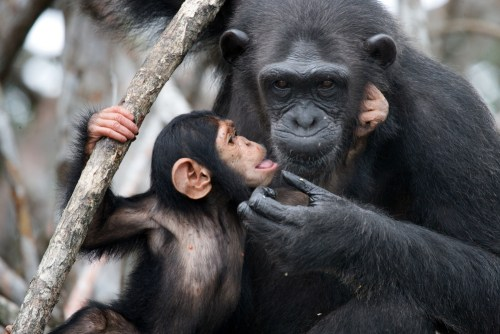 Although an oral vaccine has been developed to treat Ebola in wild chimpanzees and other apes, it may be impossible to do any further research on it.