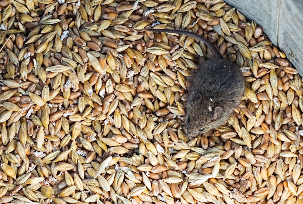 House Mouse Evolution Reveals Early Human Impact on Ecosystems