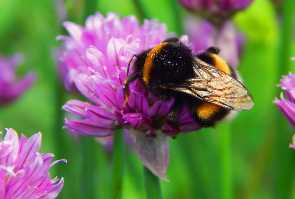 Honeybees May Be Infecting Bumblebees with Viruses