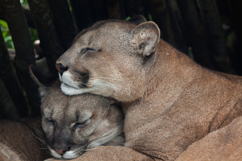 Petrified Puma Poop Produces Prehistoric Parasites