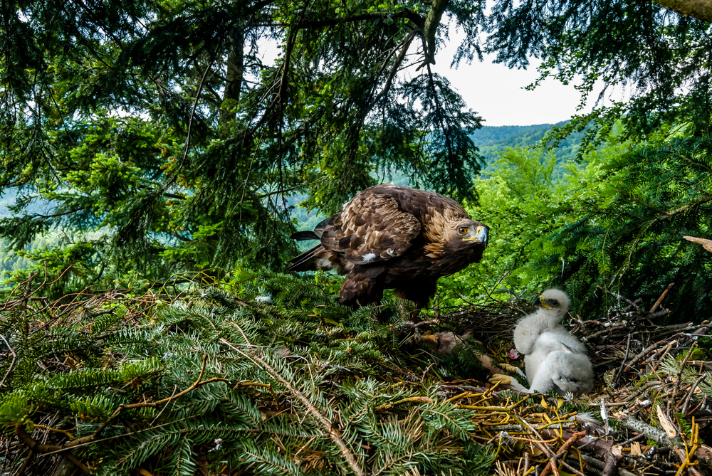 Scotland Conservation Estate Restoring Golden Eagle Populations