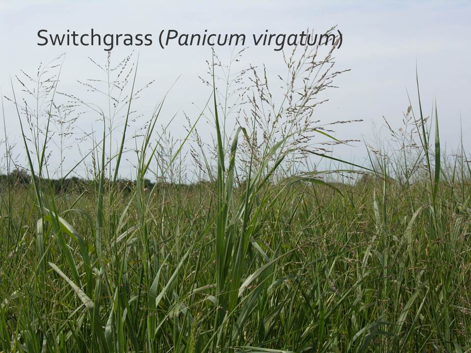 Image of Switchgrass in a field with a gray sky in the background