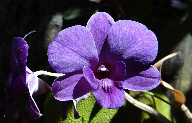 Image of a purple Orchid
