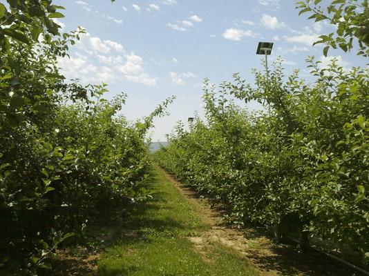 Fuji apple orchard (Roza Farm, Prosser, WA).