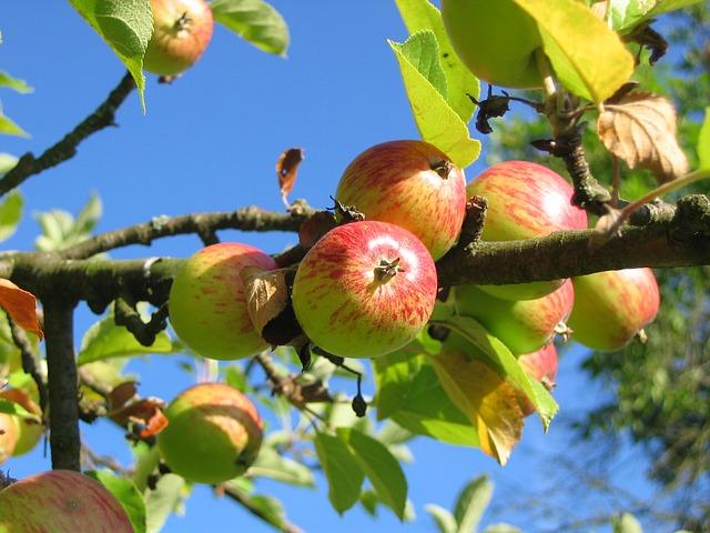 Apple tree canopy