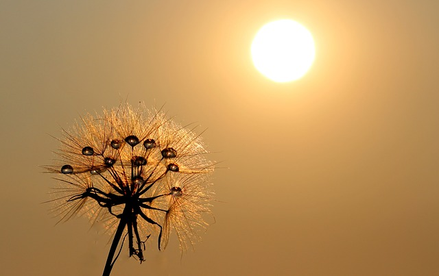Dandelion with a bright sun shining on it