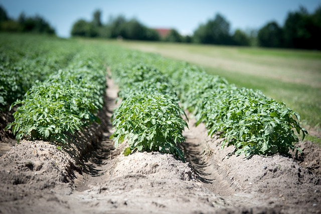 Image of potato crops in a field