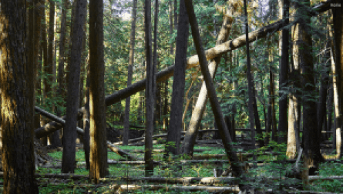 Image of a fallen tree being supported off the ground by many other trees