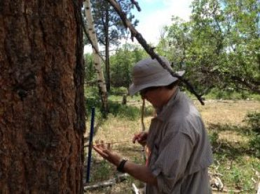 Image of a researcher coring a Ponderosa to measure its growth rate