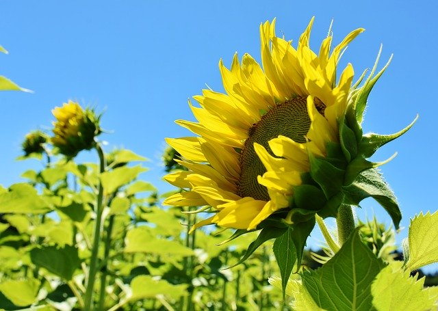 Image of a sunflower in a sunflower field facing the sun