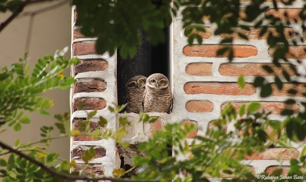 Spotted Owlet-2