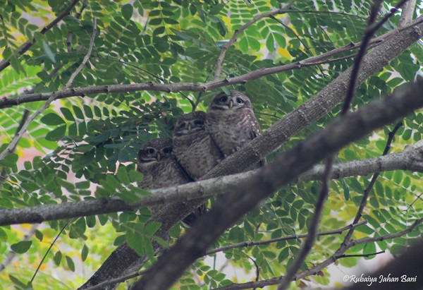 Spotted Owlet-3