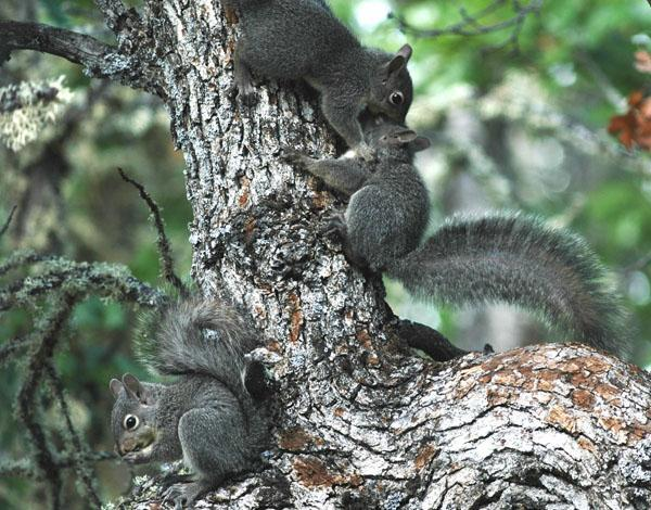 """The Western Grey Squirrel is considered fairly solitary thought they are not necessarily territorial. They will forage on the ground with other squirrels, but rarely venture far from their """"home tree""""."""