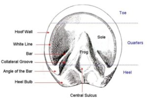 Hoof Anatomy – A Beginner's Guide – The Equine Podiatry