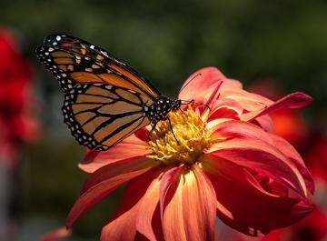 Por que as flores são coloridas e perfumadas?