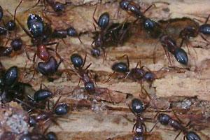 Carpenter Ant Swarmers