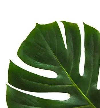 shine leaves using banana peel