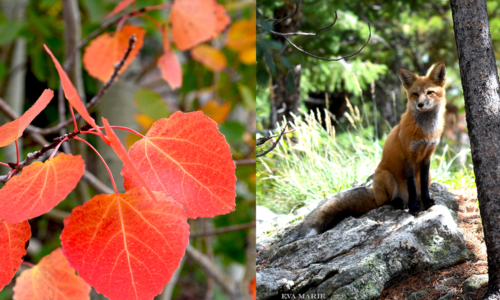 Red-leaves-and-Fox