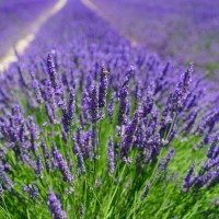 8 Beautiful Lavender Fields You Must See In Michigan