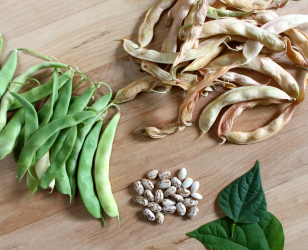 Garden To Table - Beans