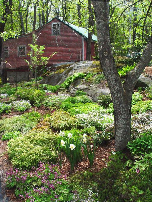 Epimedium plants in garden border at Garden Vision Epimediums nursery