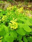 E. pinnatum ssp. pinnatumDSC09452 web