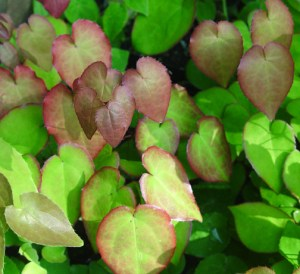 Epimedium x versicolor 'Strawberry Blush' in second growth flush