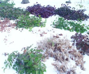 evergreen deciduous epimedium foliage comparison in winter