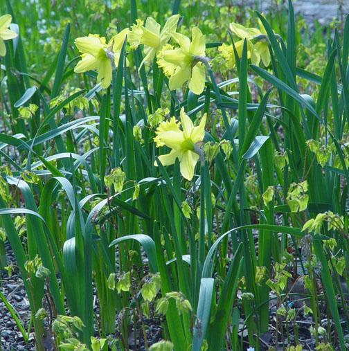 Epimedium new growth and daffodils