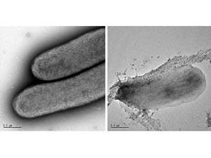 Слева: цианобактерии