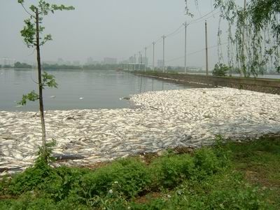 В результате очередного выброса промышленных отходов в озере Наньху погибло несколько тонн рыбы. 18 апреля 2009 год. Фото с secretchina.com