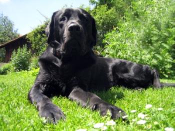 Черный лабрадор, одна из пород собак, которые особенно хорошо определяют рак. Фото: Stephan Dietl/ pixelio.de