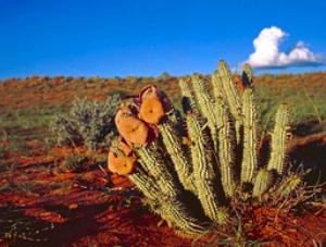 Цветы худии имеют запах протухшего мяса, поэтому мухи откладывают свои яйца в цветах, одновременно опыляя их. Есть еще желание «уменьшить аппетит»? Фото: Франк Бартч /WWF