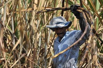 Колумбиец собирает сахарный тростник. Фото: LUIS ROBAYO/AFP/Getty Images