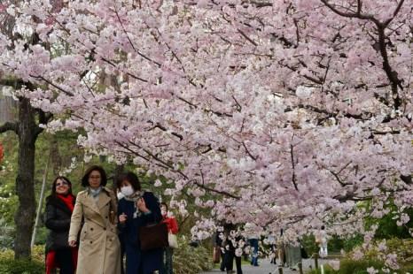 Настало время цветения сакуры. Фото: YOSHIKAZU TSUNO/AFP/Getty Images