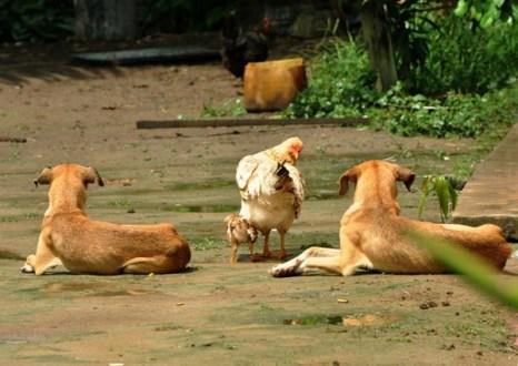 Сурама. Гайана. Скотный двор. Фото: Елизавета Кирина/tecnolux.ya.ru