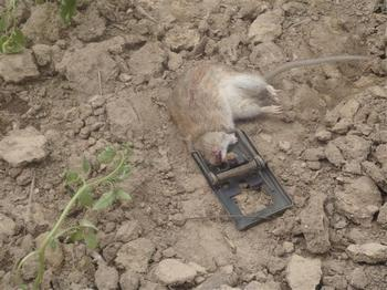 Нашествие грызунов в Китае стало настоящим бедствием. Фото с bmagri.gov.cn