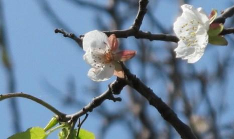 Цветки абрикосового дерева впервые распустились осенью. 20 сентября 2010 год. Провинция Аньхой. Фото с epochtimes.com