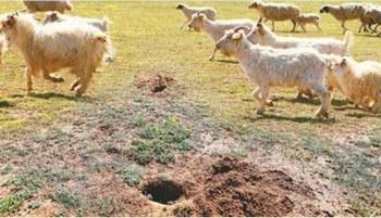 Тысячи гектар степей Внутренней Монголии страдают от нашествия грызунов. Фото с epochtimes.com